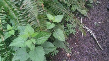 Stinging Nettles (urtica dioica) in my Pac NW neighborhood