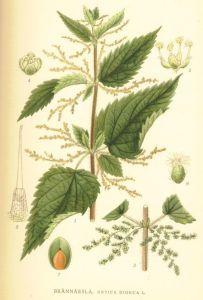 Stinging Nettle in Flower
